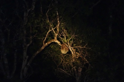 Two-toed Sloth, Guyana -- Karina Noriega