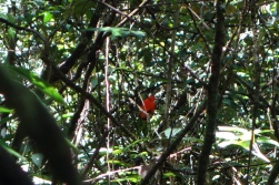 Cock of the Rock, Kaeiteur Falls, Guyana -- Karina Noriega