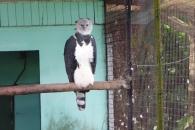 Harpy Eagle, Georgetown, Guyana -- Karina Noriega