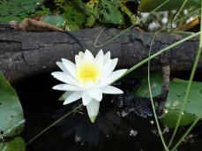 Water Lily- Okefenokee Wildlife Refuge - Karina Noriega