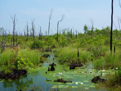 Swamp from Chesser Island Boardwalk - Okefenokee Wildlife Refuge - Karina Noriega