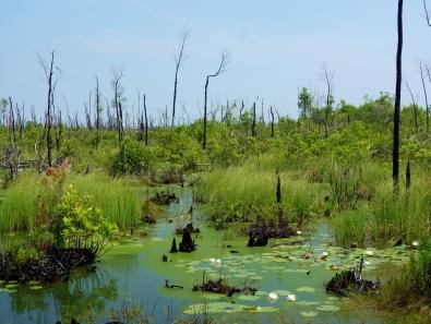 Swamp from Chesser Island Boardwalk - Okefenokee Wildlife Refuge - Karina Noriega