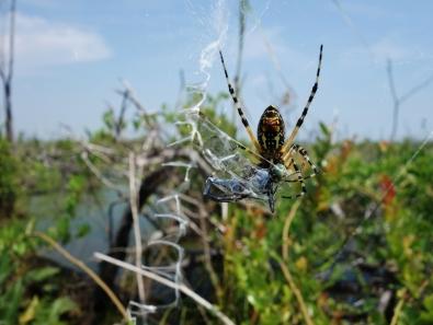 Spider eating dragonfly - Okefenokee Wildlife Refuge - Karina Noriega