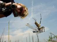 April films spider eating dragonfly - Okefenokee Wildlife Refuge - Karina Noriega