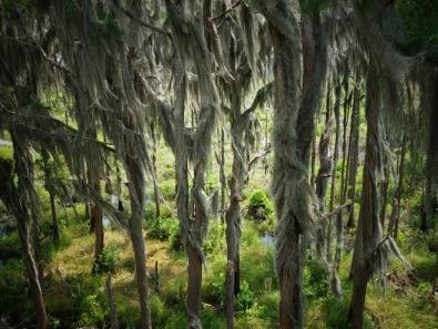 Moss covered oak trees @ the Observatory - Okefenokee Wildlife Refuge - Karina Noriega