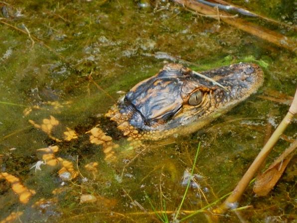 Baby alligator from the Boardwalk - Okefenokee Wildlife Refuge - Karina Noriega
