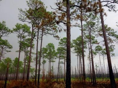 Charred forest floors - Okefenokee Wildlife Refuge - Karina Noriega