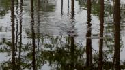 American Alligator - Okefenokee Wildlife Refuge - Karina Noriega