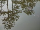 Smoke and Mirrors - American Alligator - Okefenokee Wildlife Refuge - Karina Noriega