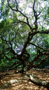 Angel Oak, St. John's, Charleston, South Carolina, USA - Karina Noriega