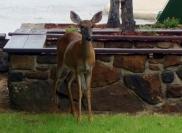 Deer approaches , Blanchard Springs Cavern, Arkansas - Karina Noriega