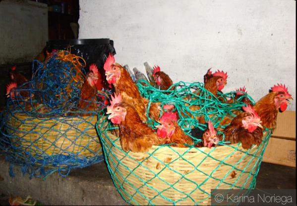 Basket' o Chickens -- Guatemala -- Karina Noriega
