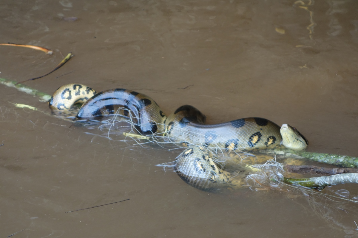 Anaconda gets entangled in a fisherman's net - Santigron, Suriname -- Karina Noriega