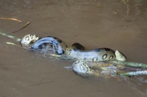 Anaconda gets entangled in a fisherman's net - Santigron, Suriname -- Karina Noriega