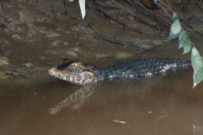 A small caiman studies us from the muddy embankment - - Santigron, Suriname -- Karina Noriega