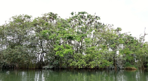 Islands of mangroves support an enormous aviary population. Rio Dulce, Guatemala -- Karina Noriega