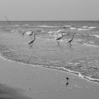 Egrets chill on the soft surf waiting for a meal to swim by. Caribbean Coast, Guatemala -- Karina Noriega
